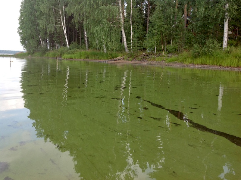 Kesän 2013 levämäärät ja muut järven tilaa heikentävät seikat olivat kansanliikkeen perustamisen lähtölaukaus. Kuva: Kuivasjärven kansanliikkeen kuva-arkisto, 2014.