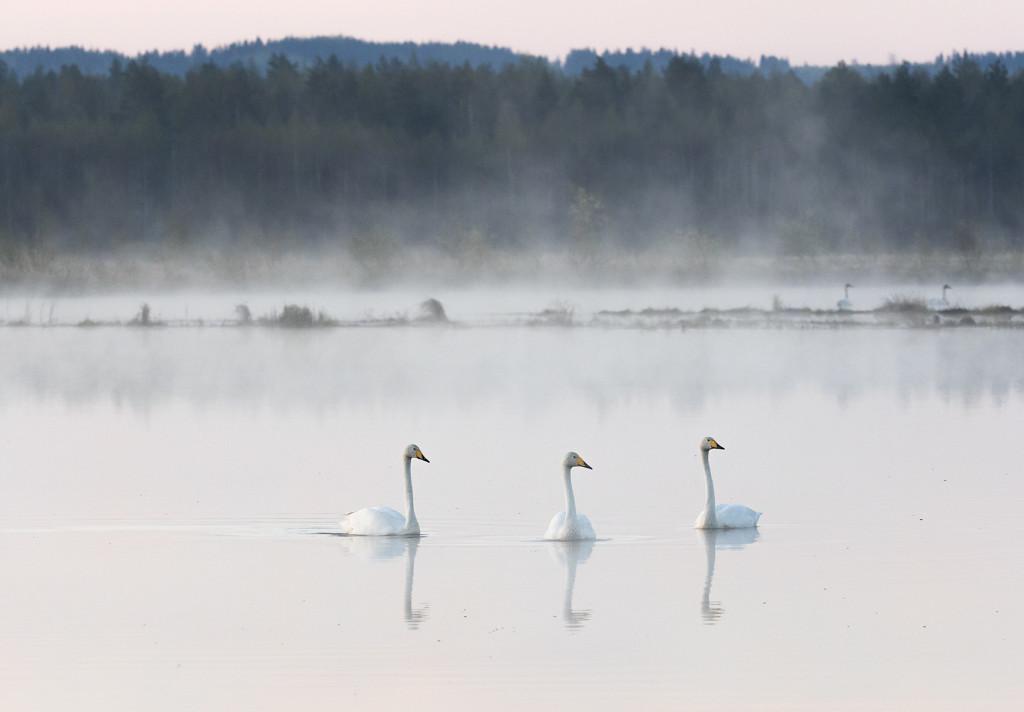 Joutsenet Linnunsuolla, josta on jo kehittynyt kansallisesti merkittävä lintuelinympäristö. Kuva: Mika Honkalinna