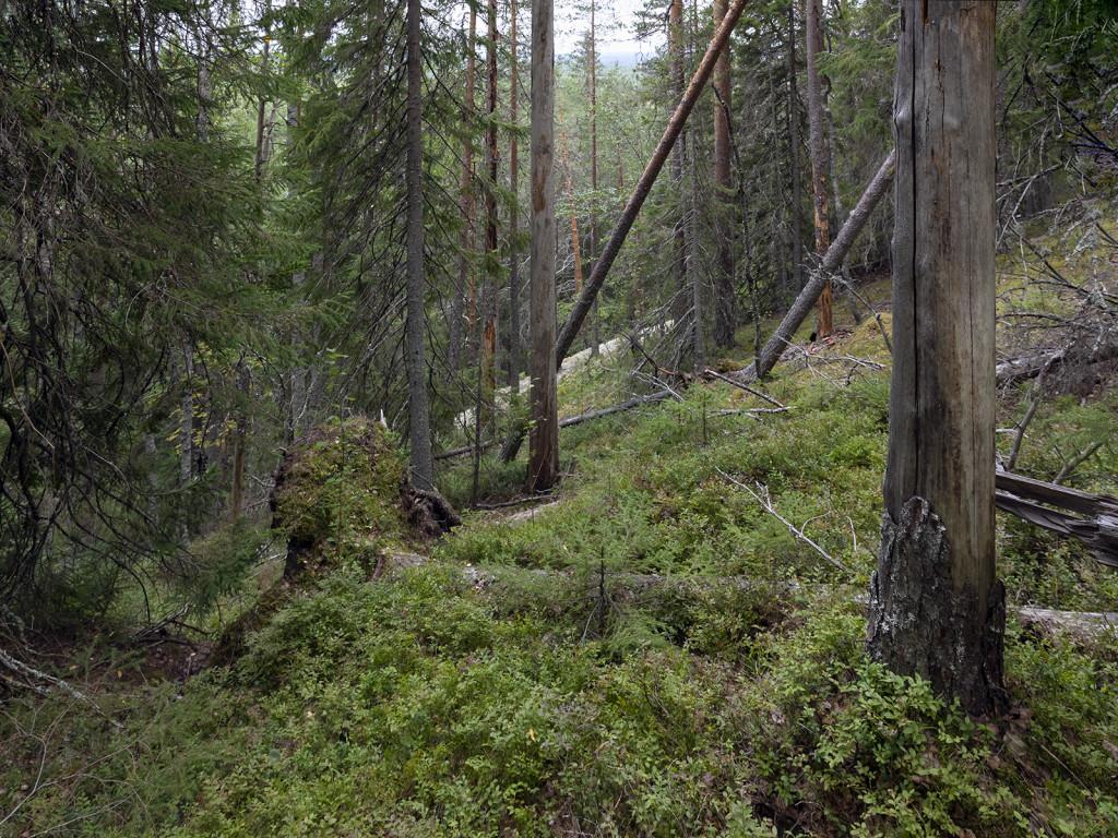 Havukkakallion metsää.